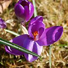 Crocus by funkybunch