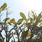 Frangipani Tree, Mt Cootha Lookout, QLD by Darsha Gillmore