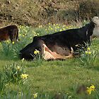 daisy n calf by David Ford Honeybeez photo