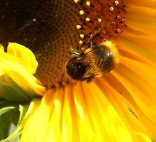 Friendly sunflower and visting bee by lostme