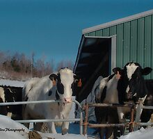 Til The Cows Come Home by vigor