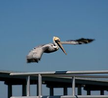 Pelican after the hunt by Jcook