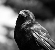 Black Crow by Ryan Davison Crisp