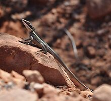 Long-nosed Water Dragon (Amphibolurus longirostris), Krichauff Ranges, Central Australia by sahoaction