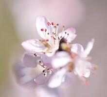 David peach Blossom  by Jacky Parker