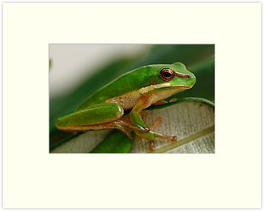 Eastern Dwarf Green Reed Frog - Litoria fallax by Normf