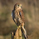 The Kestrel by AngiNelson
