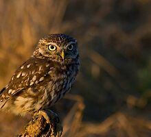 Little owl  by AngiNelson