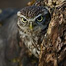 Little owl in a tree by AngiNelson