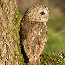 Tawny owl on a mossy branch by AngiNelson