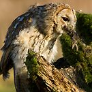 Tawny owl eating by AngiNelson
