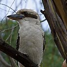 Kookaburra Dreaming by Rick Playle