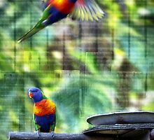 Lorikeet in Flight by PhoenixArt