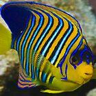 Angel Fish by wildshot