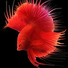 Siamese Fighting Fish. by Alex Gardiner