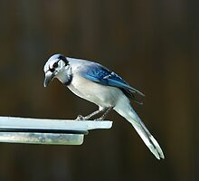 Blue Jay by Beatriz  Cruz