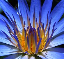 WATER LILY IN BLUE by Khaled EL Tangeer