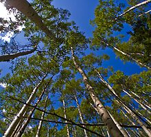 Looking up through Aspen Trees by Roschetzky