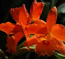 Orange Cattleya Orchid by Victoria Jostes