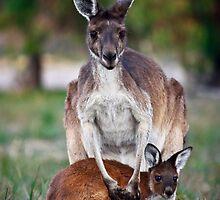 Mother and Joey - Kangaroos of Western Australia by SJRMPhotography