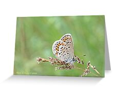 Silver-studded Blue, Plebejus argus Greeting Card