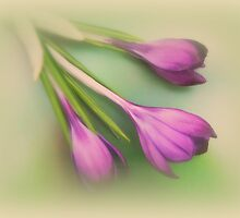 Three times a crocus by Yool