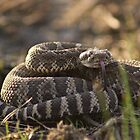 Rattlesnake Ready to Strike by Dave Stephens