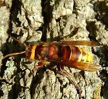 Hornet  by stuart powell