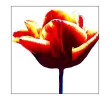 Tulip #1 - Postcard by Michelle Bush