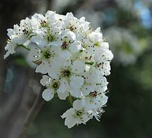 Pear blossom II by Jeff Stroud