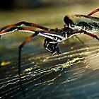 Mozambique spider by wildshot