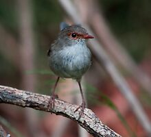 Female Fairy Wren by Margot Kiesskalt
