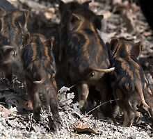 wild boar baby behinds by Brock Hunter