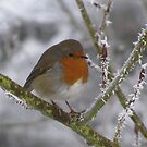 Winter Robin by wiggyofipswich