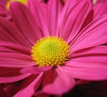 Pushing up Pink Daisies by MarianBendeth