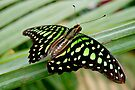 TAILED JAY   (Graphium agamemnon) by Johan  Nijenhuis