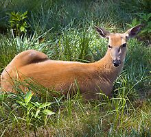 Lazy Deer - White Tailed Deer in Cades Cove TN by Dave Allen