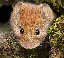 Bank Vole by Roger Butterfield