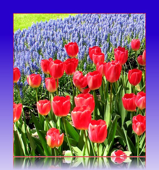 Dazzling Red Tulips and Brilliant Blue Muscari - Keukenhof Gardens by BlueMoonRose