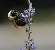 A Bee on Lavender by Laurel Haarer