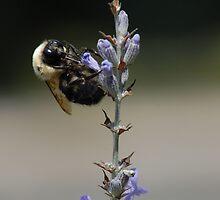 A Bee on Lavender by Laurel Haarer