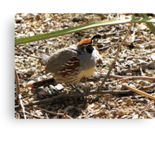 Gambel's Quail ~ Male Canvas Print