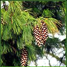 Sunlit Pine Cones Hanging from Tree in Autumn by BlueMoonRose