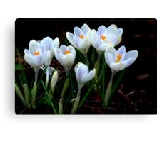 Beautiful (Spring Crocus early April) Canvas Print