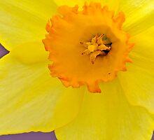 Daffodil by Nick Conde-Dudding