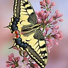 Papilio machaon by jimmy hoffman