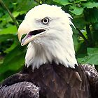 Bold Bald Eagle by amercnwmn
