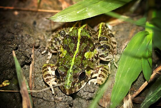 Spotted - Frog in Rice paddy's by Normf