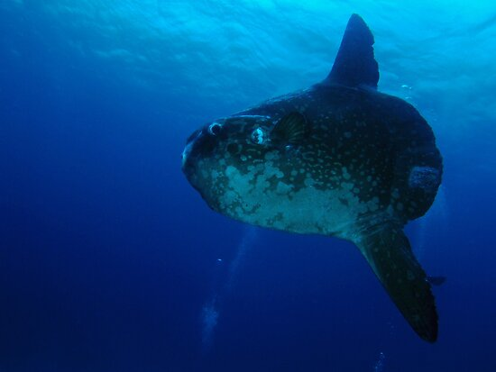 Sunfish (Mola Mola) Cocos Island, Indian Ocean, Australia by Sean Elliott