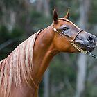 National Arabian Championship by Malcolm Katon